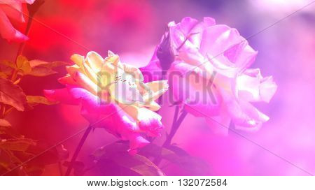 A background with an abstract colorful pattern over a pair of roses.