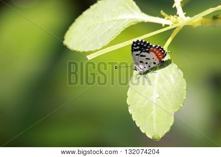 A cute little butterly with wings in white and orange with black spots on a leaf.