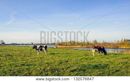 A red and white and a black and white cow grazing together in the meadow located on the water of a small creek. It's a sunny day in the autumn season.
