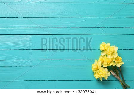 Yellow narcissus or daffodil flowers on turquoise wooden background. Selective focus. Place for text. Flat lay.