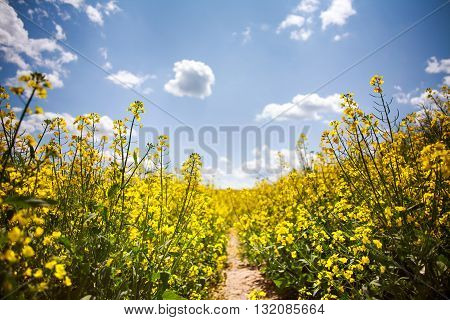 Yellow field of blooming rapeseed on the background of blue sky