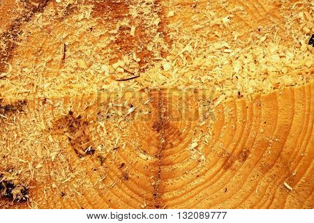 Cut Alder Tree With Annual Ring, Saw Dust And Pieces Of Bark. Detail Of Tree Stump
