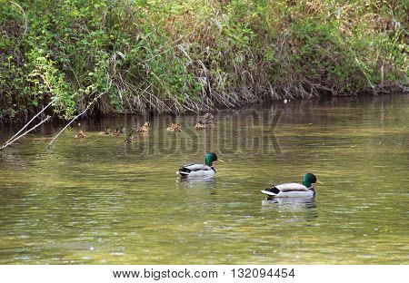 female mallard duck with many little ducklings and two male ducks swimming in the river