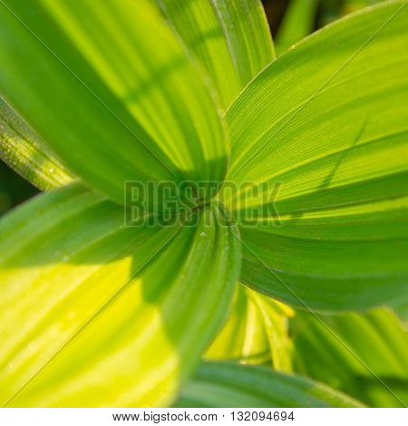 Green Big Leaves With Curvy Lines