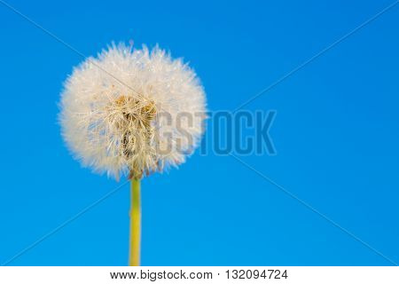 Dandelion Abstract Blue Background.