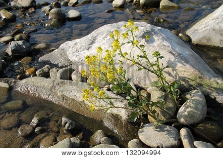 blooming rapeseed growing on the stones in the water