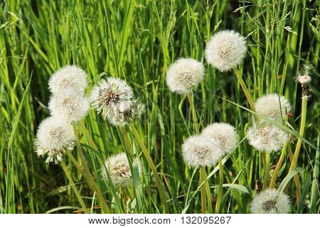 bunch of dandelions with white fluff in spring