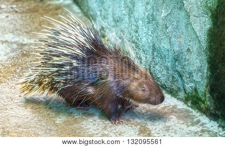 Porcupine in body such as zoo with fur on backs mice, but very long as weapons self defense when attacked, it is also rare animal species should be preserved