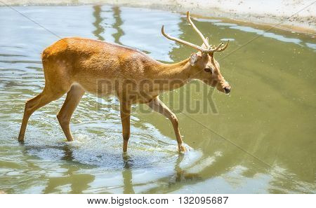 Young stag in zoo with new sprout horns wading through puddles to find food, this rare animals that need to be preserved in wild
