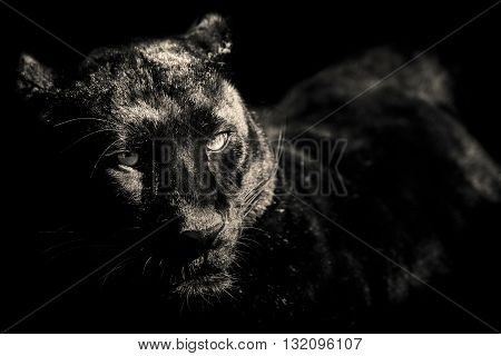 black panther leopard black and white portrait