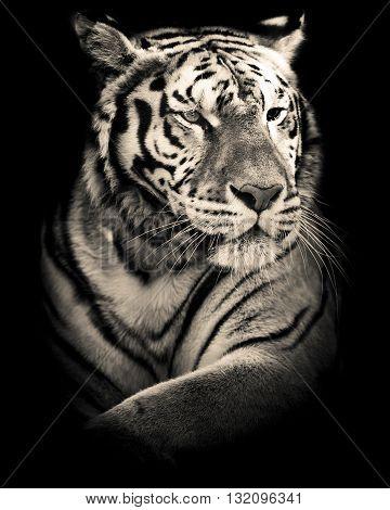 cute siberian tiger black and white portrait