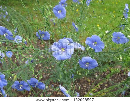 Blooming blue flax, Linum perenne, in herb garden