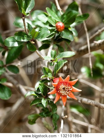 Red blossom of pomegranate, pomegranate blossom in natural nature background