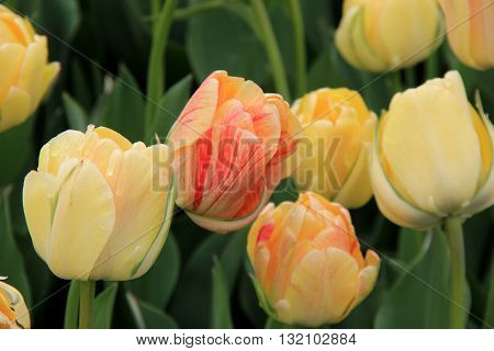 Close up of pretty white,peach and yellow hues in Springtime tulip landscape