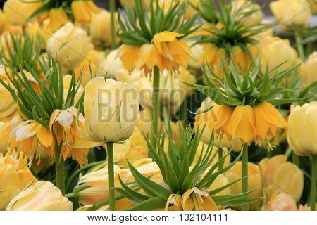 Stunning landscape with tulips,with some Yellow Crown Imperials tucked in between