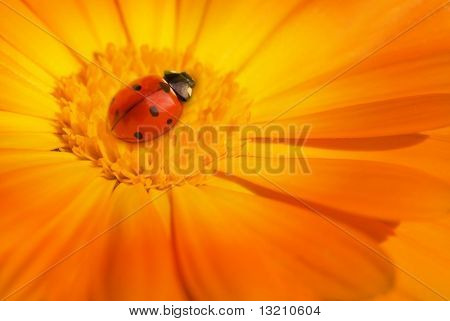 Ladybug sitting on a flower