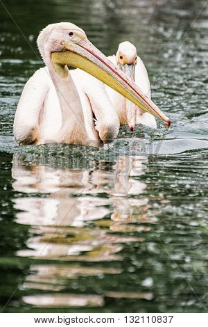 Group of Great white pelican - Pelecanus onocrotalus - are reflected on the shimmering lake. Big bird. Animal scene. Beauty in nature. Bird portrait.