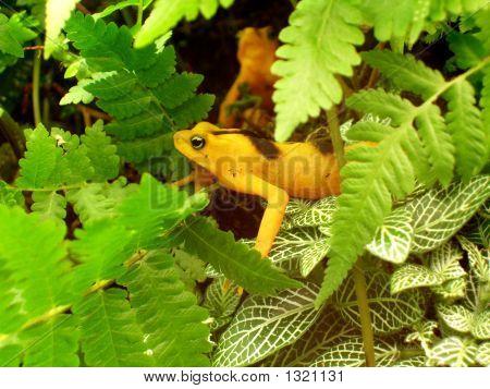Yellow Tree Frog