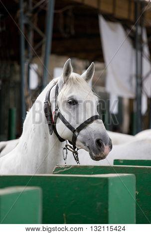 Lipizzaner Horse Portrait