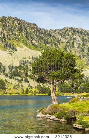 Alpine pine (Pinus Nigra) on the side of the Aumar Lake in The French Pyrenees Mountains.