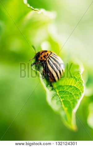 Colorado Striped Beetle - Leptinotarsa Decemlineata. This Beetle Is A Serious Pest Of Potatoes
