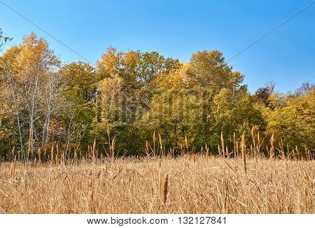 Autumn Forest And Dry River Bulrush