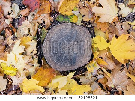 Autumn tree stump surrounded by leaves  tree stump