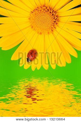 Ladybug on yellow flower. Reflected in water