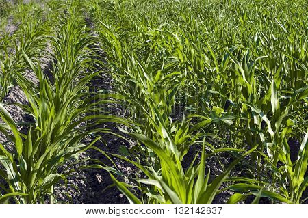 corn plants cultivation in a sunny day