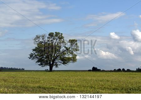 Old oak tree on field and blue sky with clouds. Natural seasonal background.