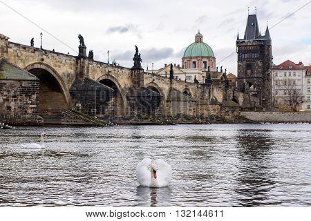 White swan on the river Vltava in Prague