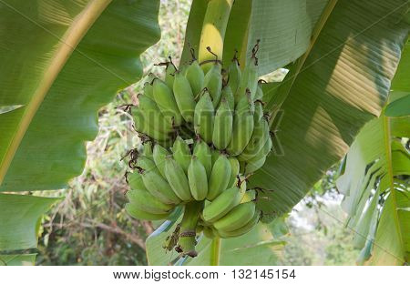 The cultivated banana tree with the fruit