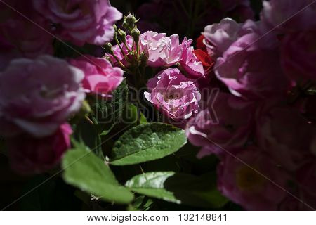 Wild rose flowers in a shade, dappled with sun