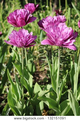 Tulip (Tulipa) - genus of perennial herbaceous bulbous plants lily family