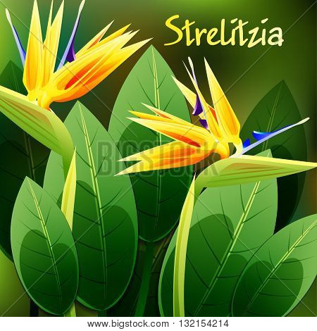 Beautiful spring flowers Strelitzia Reginae. Cards or your design with space for text. Vector illustration