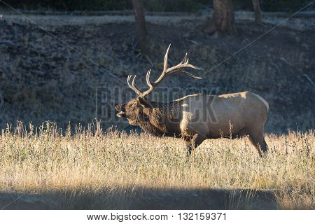 a bull elk bugling in the fall rut