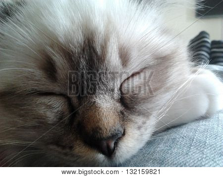 Beautiful sleeping kitten, laying on someone's lap.