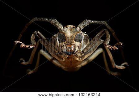 Portrait of beetle cerambycidae in black background.