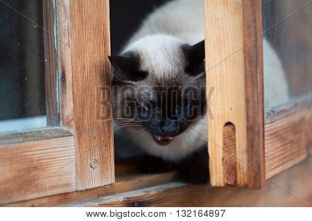 Siamese cat sitting in a wooden window.