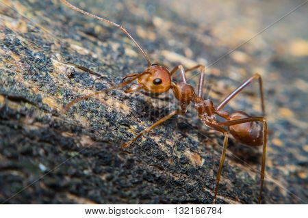 Close up of red ant with wide open mandibles and ready to fight