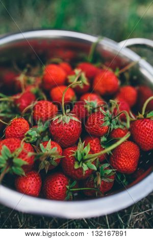 Bowl with freshly picked homegrown organic strawberries in garden selective focus