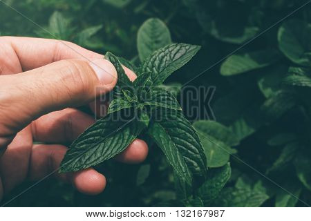 Farmer picking peppermint leaves in garden homegrown organic plant production.
