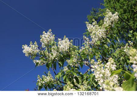 Lilac (Syringa) - beautiful blooming ornamental shrubs in gardens