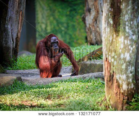Huge wild orangutan sitting in natural green environment