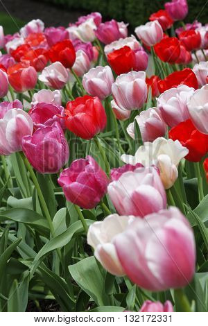 Bed of colorful pastel Spring tulips with red pink and white