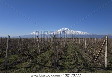 Majestic Ararat mount with a view on vineyards.