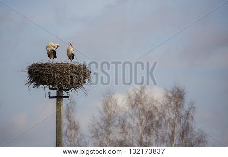 Couple of storks are standing in the nest on the electric pole