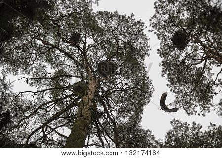 Flying red beak heron among the trees with birds nests