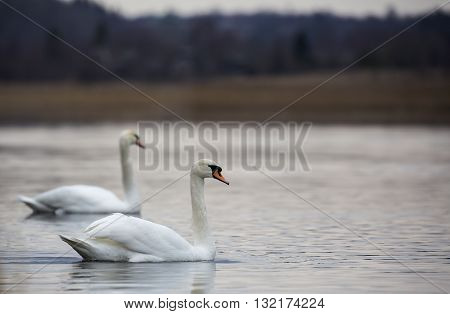 Romantic couple of swans are on the lake