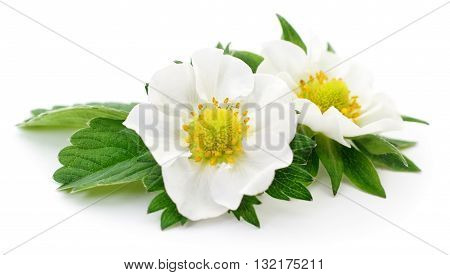 Two white strawberry flowers on a white background.